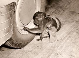 Прикрепленное изображение: pet-monkey.jpg