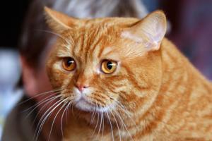Прикрепленное изображение: Рыжий кот.jpg