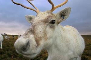 Прикрепленное изображение: nice-reindeer-17xsri7.jpg
